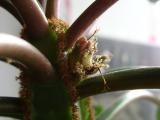 Euphorbia Leuconeura - Blüte